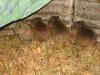 Los Llanos - jonge capybara