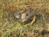 Los Llanos - anaconda eet krokodil