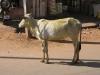 Gelige koe, Mysore