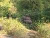 Wilde olifanten, Topslip